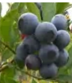 bilberry benefits diabetes