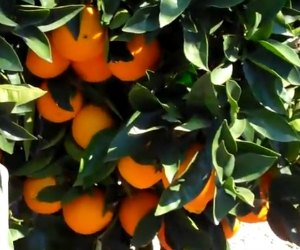 vitamin C and diabetes