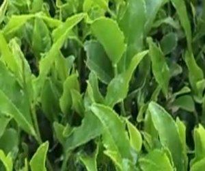 green tea and diabetes