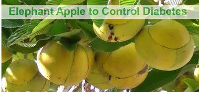 Elephant Apple for Diabetes