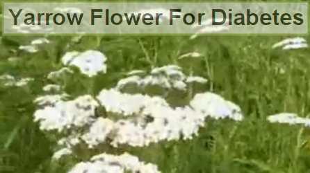 yarrow  flowers benefits for diabetes